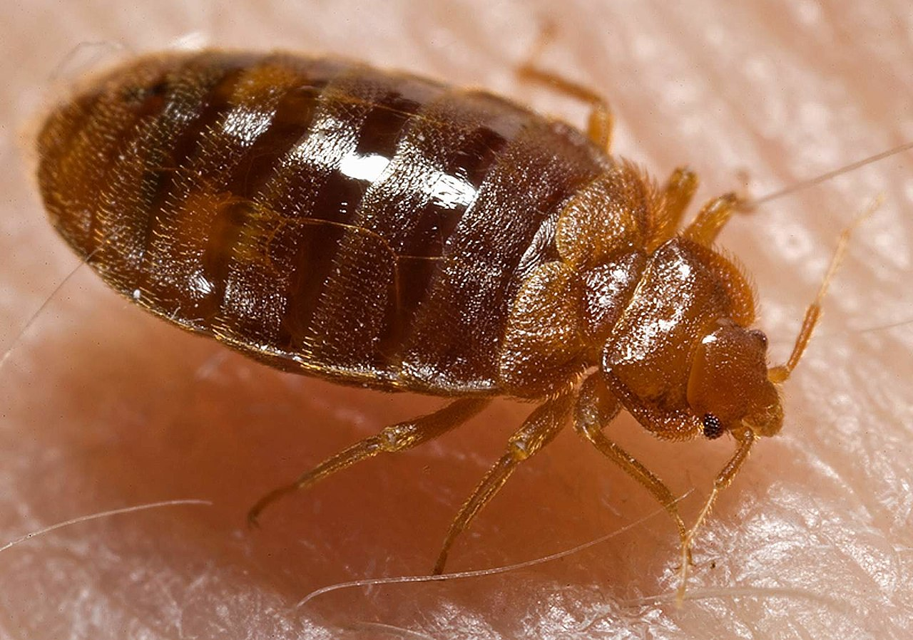 Bed bug on person's skin