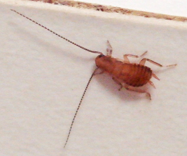 Cockroach nymph