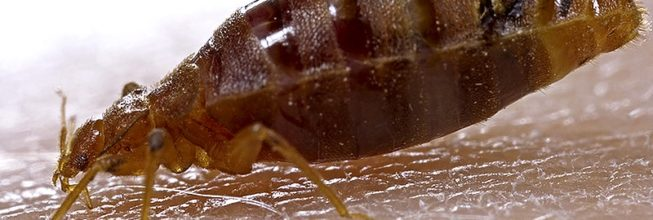Bugs That Look Like Bed Bugs (But Aren't)