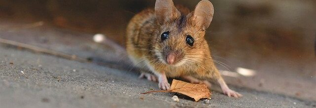 Here's Why Rodents Are Dangerous