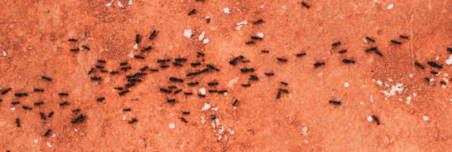 Florida House Ants To Watch Out For